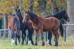 Group of four horses in autumn Stock Photo