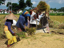 The group of four indonesian peasants working with rice. Photo of the group of a foursome working on the rice field (process of thrashing rice). Lombok, island Royalty Free Stock Image