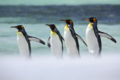 Group of four King penguins, Aptenodytes patagonicus, going from white snow to sea, Falkland Islands Stock Images