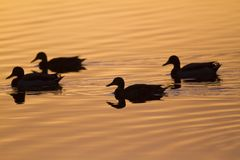 Mallards swimming in a lake. Group of four Mallards swimming in a lake on sunset Stock Photography