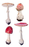 Group of four red fly agaric mushrooms on white Stock Photos