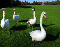 Group Of Four Swans. A group of four whooper swans on green grass background Royalty Free Stock Photography