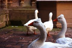 A group of four white goose. With red beaks walking in the yard.n stock photos