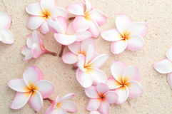 Group of Frangipani on beach Royalty Free Stock Photo