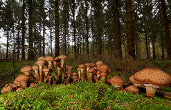 Group of Freckled Dapperling mushrooms Royalty Free Stock Image