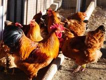 Hen farm free range Stock Image