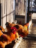 Hen farm free range Royalty Free Stock Images