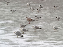 Group of freezing seagulls Stock Images