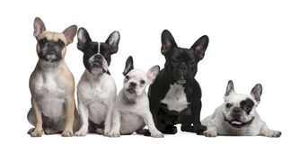 Group of French Bulldogs Royalty Free Stock Photo