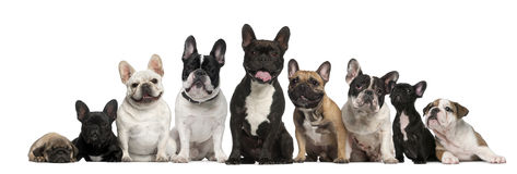 Group of French bulldogs in front of white Stock Photo