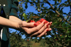 Group of fresh apples on womans hands Stock Photos