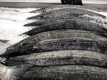Group of Fresh Barracuda on Ice Royalty Free Stock Photo