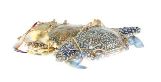 Group of fresh blue crabs on white Royalty Free Stock Image