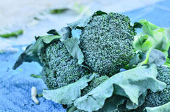 Group of fresh broccoli Royalty Free Stock Images