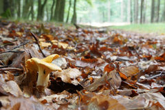 Group of fresh Chanterelles. In the Forest royalty free stock image