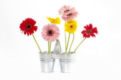 Group of Fresh Daisys in zinc bucket  isolated, Clipping path included. Royalty Free Stock Photography