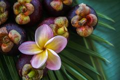 Group of Fresh Exotic Tropical Thai Fruit Mangosteens Garcinia mangostana on Banana Leaf Royalty Free Stock Images