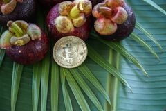 Group of Fresh Exotic Tropical Thai Fruit Mangosteens Garcinia mangostana with Digital Cryptocurrency Bitcoin on Royalty Free Stock Images