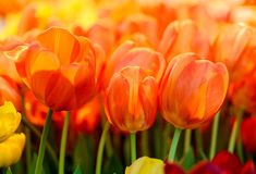 Group of fresh orange red tulips Royalty Free Stock Photo