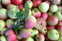 Group of fresh red and green apples Stock Image