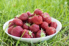 Group fresh red strawberries white plate, clean fruits, delicious and ready to eat. Group fresh red strawberries on white plate in the grass, ripened and clean Royalty Free Stock Photos