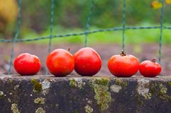Group of fresh tomatoes Royalty Free Stock Photo