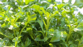Group of fresh watercress Stock Photography