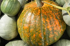 Pumpkin new crop. A group of freshly harvested pumpkins Stock Photo