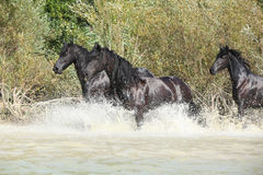Group of friesian mares in the water Royalty Free Stock Photo
