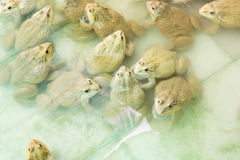 Group of frogs Royalty Free Stock Image