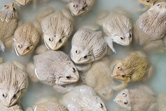 Group of frogs Royalty Free Stock Photography