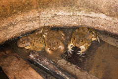 Group of frogs in farm Stock Photos