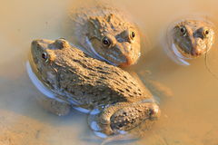 Group frogs(Hoplobatrachus rugulosus) Stock Photos