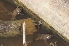 Group of frogs rest in a pool.  stock photo