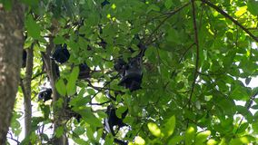 A group of fruit bats hanging on tree in forest, Litchfield national park, Australia. stock image