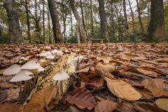 Group of fungus foreground and bench in autumn forest background. Rewarding early morning forest walk royalty free stock images