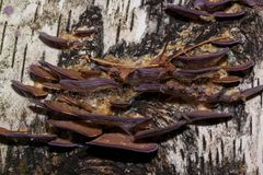 A group of fungus are growing on a birch trunk. Parasitic plant royalty free stock photos