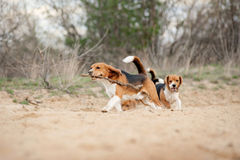 Group of funny beagle dog running Royalty Free Stock Photo
