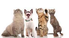 Group of funny curious cats looks up. Group of four funny curious cats looks up while standing and sitting on white background, one of them looking in awe royalty free stock image