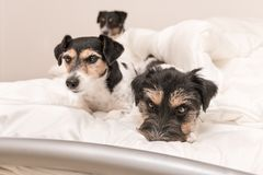 A group of funny dogs are lying and sleeping in a bed. Three little Jack Russell Terrier dog. A group of funny dogs are lying and sleeping in a bed. Three small stock photo