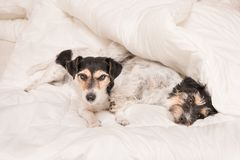 A group of funny dogs are lying and sleeping in a bed. Two little Jack Russell Terrier dog. A group of funny dogs are lying and sleeping in a bed. Two small Jack royalty free stock images