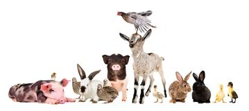 Group of funny farm animals. Isolated on white background royalty free stock photos