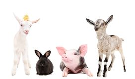 Group of funny farm animals. Together isolated on white background Stock Image