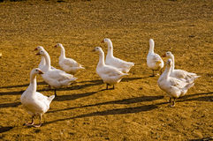 Domestic Geese Stock Photo