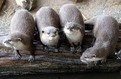 Group of funny oriental small-clawed otter looking entertaining at spectators stock photos
