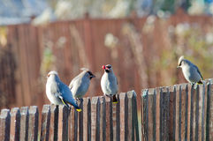 The group of funny waxwings on a fence Stock Photos