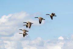 Group or gaggle of Canada Geese Branta canadensis flying Royalty Free Stock Photos