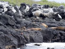 Group Galapagos sea lion, Zalophus wollebaeki, resting on the rocks, Galapagos, Ecuador. One Group Galapagos sea lion, Zalophus wollebaeki, resting on the rocks Royalty Free Stock Images