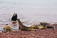 Group of Galapagos sea lions. A group of Galapagos sea lions (Zalophus wollebaeki) from Rabida Island (galapagos, Ecuador). The dominant male communicates with Stock Image