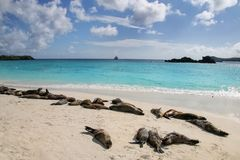 Group of Galapagos sea lions resting on sandy beach in Gardner Bay, Espanola Island, Galapagos National park, Ecuador. These sea lions exclusively breed in the stock photo